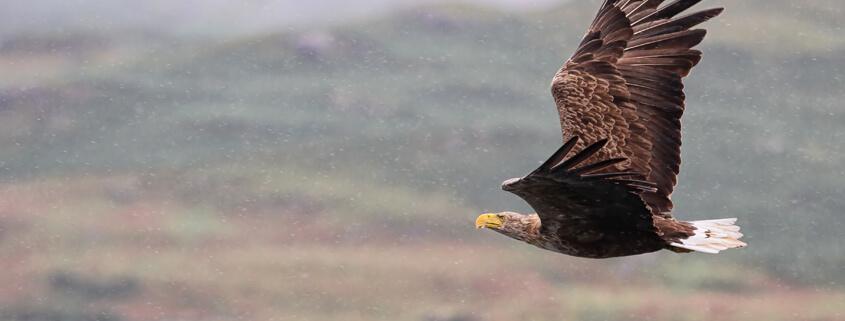 Enabling impact: Building nests for golden and white-tailed eagles